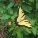 An Eastern Tiger Swallowtail is just one example of the butterflies that volunteers might count June 30.